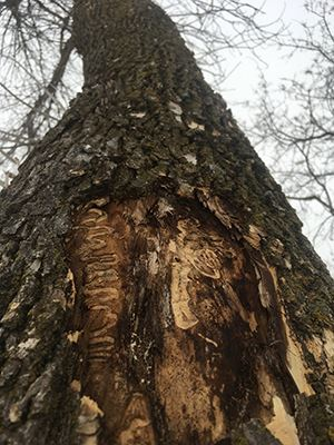 tree trunk infested with Emerald Ash Borer tunnels