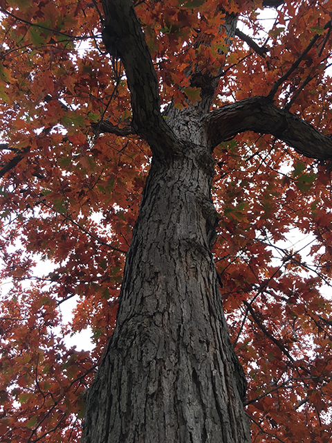 white oak tree in fall